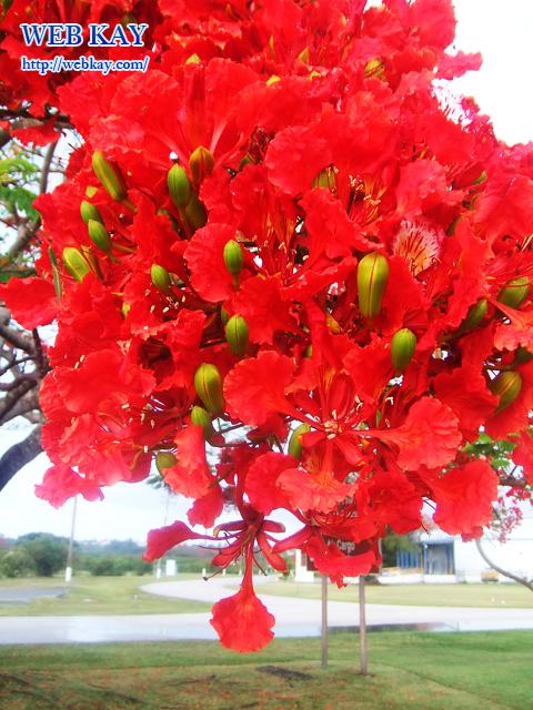 サイパン フレームツリー フレイムツリー 南洋桜 火炎樹 Flame tree Illawarra flame tree