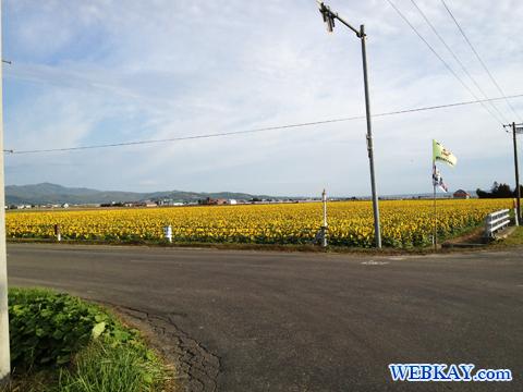 富良野駅周辺ひまわり畑 北海道 北大沼