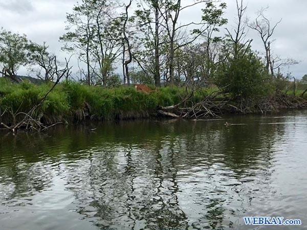 エゾシカ カヌーツアー 釧路湿原 カヌー Kushiro Marsh canoe