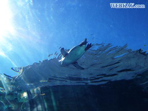 Humbolt penguin フンボルトペンギン 旭山動物園 観光スポット ぶらり旅
