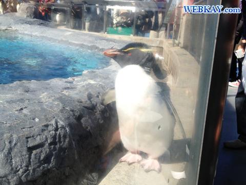 Rockhopper Penguin イワトビペンギン 旭山動物園 観光スポット ぶらり旅