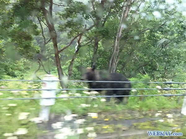 知床五胡 ヒグマ 熊