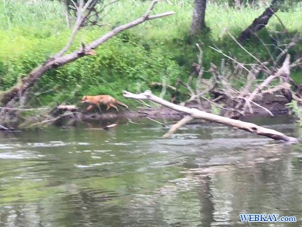 キタキツネ カヌーツアー 釧路湿原 カヌー Kushiro Marsh canoe