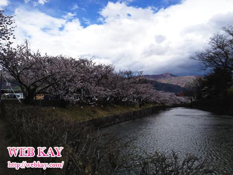 松本城 桜並木