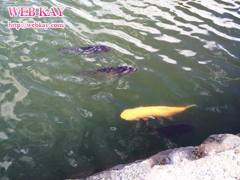 松本城 鯉