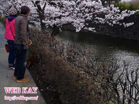 松本城 桜並木 犬 散歩