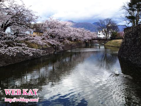 松本城 桜 白鳥