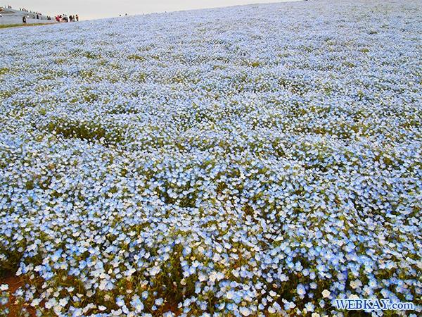 国営ひたち海浜公園 ネモフィラ みはらしの丘 茨城県 nemophila