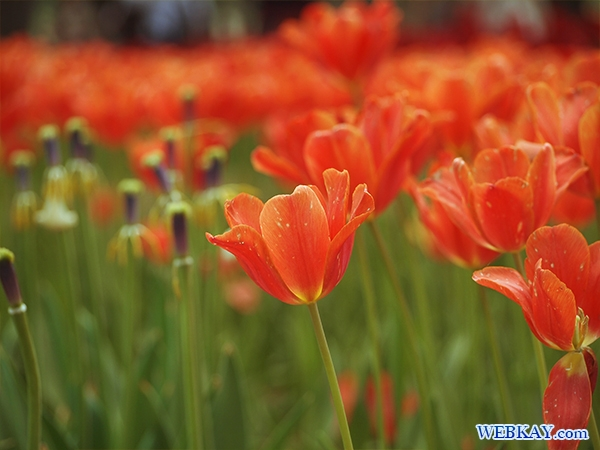 国営ひたち海浜公園 tulip チューリップ たまごの森 フラワーガーデン flower garden 茨城県