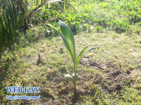 サイパン 植樹 並木の植樹 植樹記念証 TREE PLANTING
