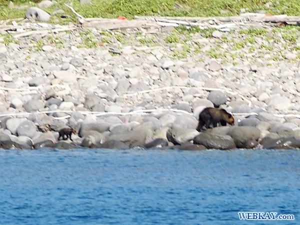 知床 ルシャ湾  ヒグマ 熊 ウォッチング