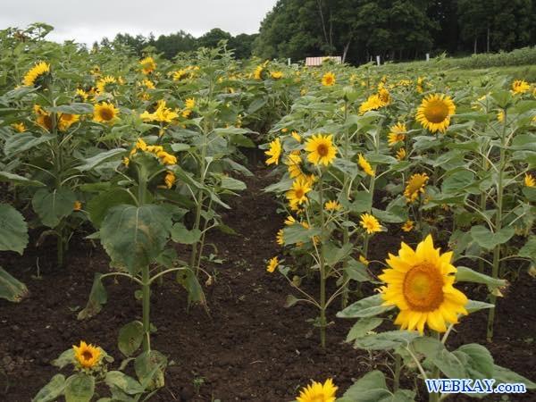 ヒマワリ畑 ひまわり畑 Sunflower field ひまわりの里 北竜町 北海道