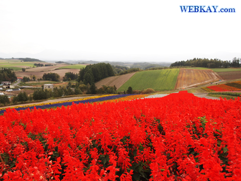 サルビア Salvia 四季彩の丘 美瑛 観光 お花畑  Hill Shikisai