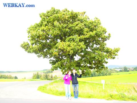 美瑛 びえい 観光 スポット 有名な木 ドライブ セブンスターの木