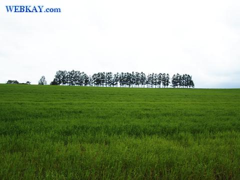 美瑛 びえい 観光 スポット 有名な木 ドライブ マイルドセブンの丘
