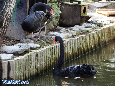 ブラックスワン 旭山動物園 観光スポット ぶらり旅