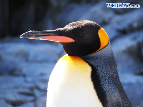 King Penguin キングペンギン 旭山動物園 観光スポット ぶらり旅