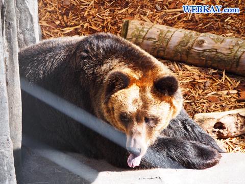 エゾヒグマ 熊 旭山動物園 観光スポット ぶらり旅
