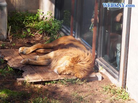 Panthera leo ライオン 旭山動物園 観光スポット ぶらり旅