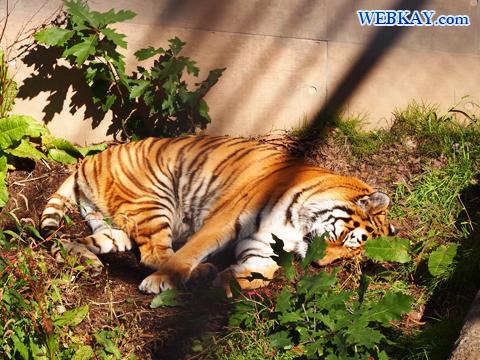 Panthera tigris altaica アムールトラ 旭山動物園 観光スポット ぶらり旅