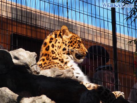 Amur Leopard アムールヒョウ 旭山動物園 観光スポット ぶらり旅