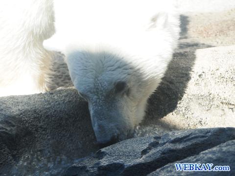 Polar Bear ホッキョクグマ 旭山動物園 観光スポット ぶらり旅