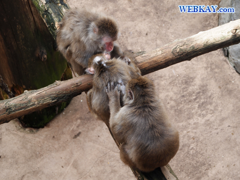 Japanese Macaque ニホンザル 旭山動物園 観光スポット ぶらり旅