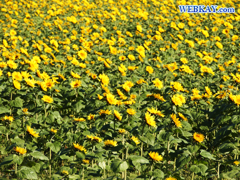 美瑛 ひまわり畑 観光スポット ぶらり旅 ドライブ フォトスポット sunflower biei